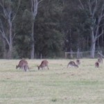 Kangaroos near Mt Scanzi Road