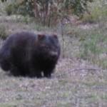 Wombat Alert!