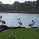 Pelican Triumvirat in Kiama