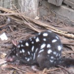 And another quoll