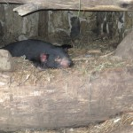 Mother tassie devil taking a nap