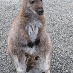 wallaby and baby wallaby