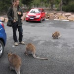 Surrounded by affectionate wallabies