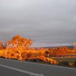 Glowing Trees under the Tasmanian sunset
