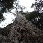 Huge trees, Tahune Air walk, Tasmania
