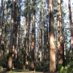 "Giant ""Eucalyptus regnans"" trees in the Sherbrooke Forest, Dandenong Ranges"