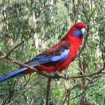 Parrot in the Sherbrooke Forest, Dandenong Ranges