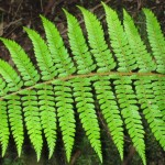 Ferns in the Sherbrooke Forest, Dandenong Ranges