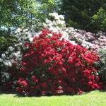 National Rhododendron Cutie .. again!