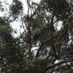 Far up in the trees: a koala