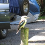 Kookaburra cheese bread thief