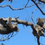 Koalas near Cape Otway