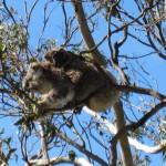 Koala and Baby Koala near Cape Otway