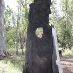 Sweetie-tree at Wilpena Pound