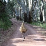Mr. Emu had the same idea - why not go for a walk?