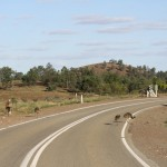 Baby emus were not disturbed by the traffic