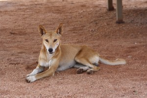 Dingo at our campsite