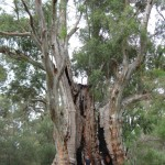 Giant gum tree at Mambray Creek