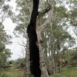 Hollow burnt gum tree at Mambray Creek