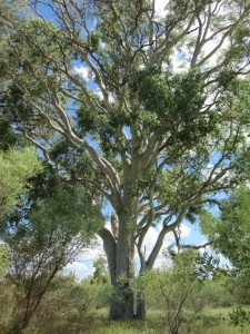 Beautiful Ghost Gum tree