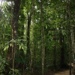 Rainforest Walk near Mossman Gorge
