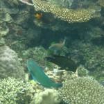 Funny parrotfish