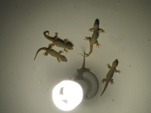 Lots of Gecko housemates
