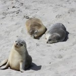 Australian Sealion puppies at Seal Bay