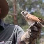 Bart and an Australian Kestrel