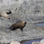 New Zealand Fur Seals at Admiral's Arch