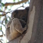 Koala at Hanson Bay