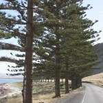 Pine trees on the Fleurieu Peninsula