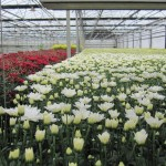 Chrysanthemums - probably Turbo White and maybe Red Maxx?