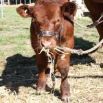 Baby cow - sooo cute!