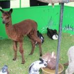 Baby Alpaca - as cute as baby cow