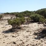 Mangroves on Telowie Beach