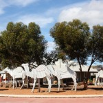 Camels in Norseman