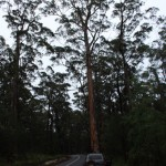 Small LandCruiser big Karri trees