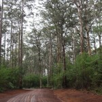 Scenic drive through the Karri Tree Forest