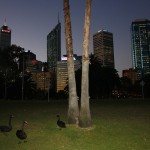 Black swans, the heraldic animal of Western Australia