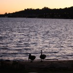 Black swans at Swan River