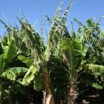 Banana plantation, Carnarvon
