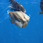 Maldivian batfish feeding frenzy