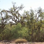 Flying fox fruit trees, Katherine Gorge