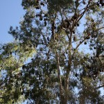 Flying foxes in the trees, Katherine Gorge