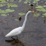 A crane at Mamukala wetlands
