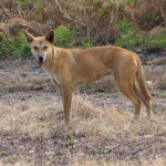 A dingo on the side of the road