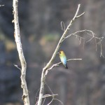 Colourful bird at Gunlom Falls