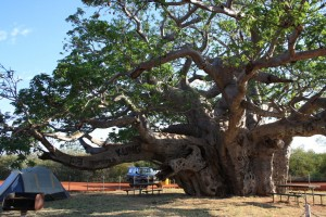 Huge Boab tree between Broome and Fitzroy Crossing