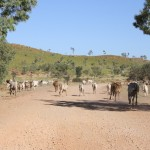Cattle from the Rugby Downs Station on the way to Wolfe Creek